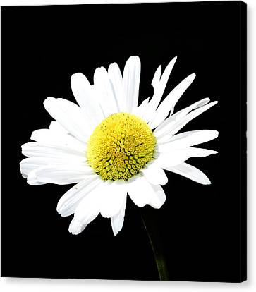 Daisy Flowers  Canvas Print by Toppart Sweden