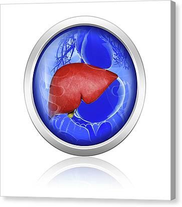 Human Liver Canvas Print by Pixologicstudio