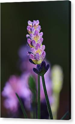 Lavender Canvas Print by Heike Hultsch