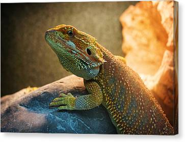 lizard Bearded Dragon Canvas Print by Celestial Images