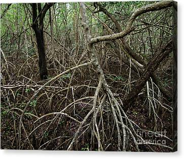 Mangrove Roots Canvas Print by Tracy Knauer