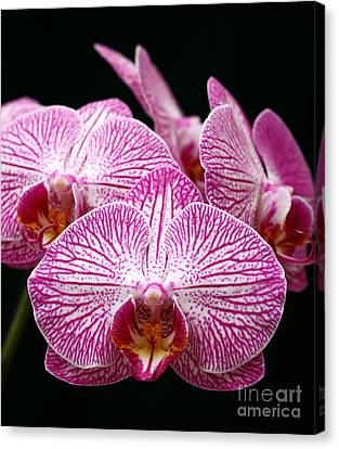 Moth Orchid Canvas Print by James Brunker