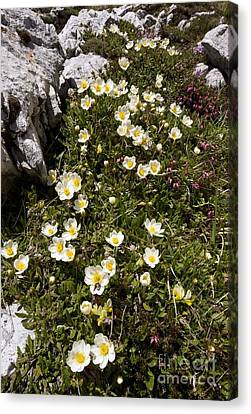 Mountain Avens Dryas Octopetala Canvas Print by Bob Gibbons