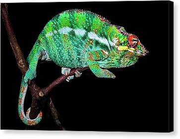 Panther Chameleon Canvas Print by Alex Hyde