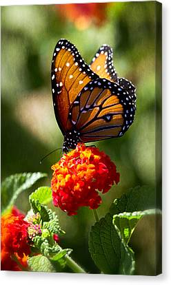 Queen Butterfly  Canvas Print by Saija  Lehtonen