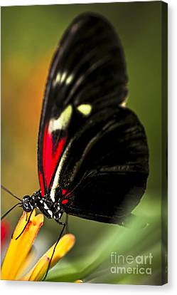 Red Heliconius Dora Butterfly Canvas Print by Elena Elisseeva