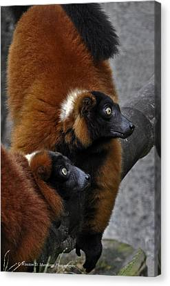 Red-ruffed Lemur Canvas Print by Winston D Munnings