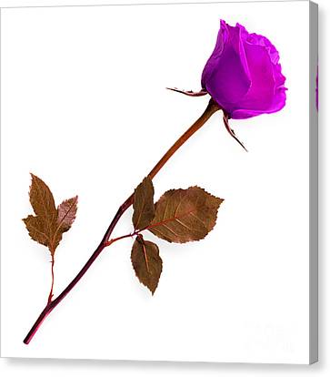 Rose Collection Canvas Print by Marvin Blaine