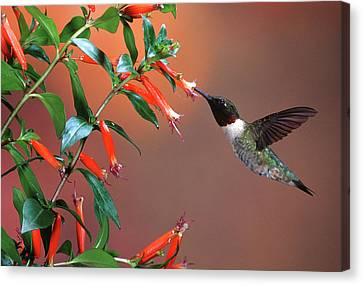 Ruby-throated Hummingbird (archilochus Canvas Print by Richard and Susan Day