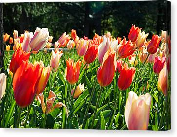 Tulips At Sherwood Gardens, Baltimore Canvas Print by Panoramic Images