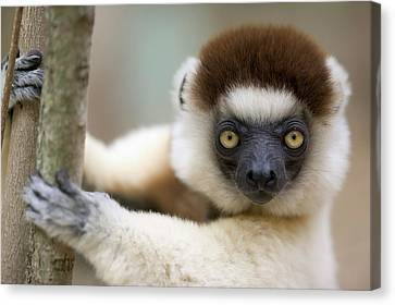 Verreauxs Sifaka In Berenty Canvas Print by Cyril Ruoso