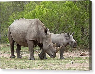 White Rhino And Calf Canvas Print by Bob Gibbons