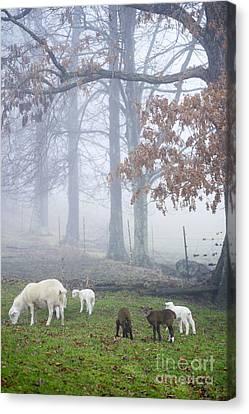 Winter Lambs Foggy Day Canvas Print by Thomas R Fletcher