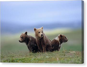 4 Young Brown Bear Cubs Huddled Canvas Print by Eberhard Brunner