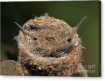 Broad Billed Hummingbird Canvas Print by Scott Linstead