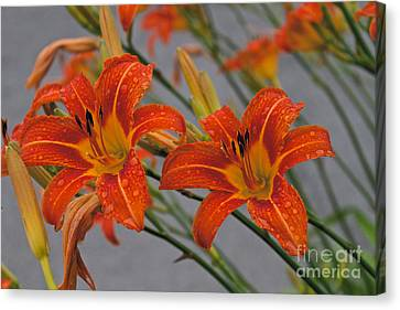 Day Lilly Canvas Print by William Norton
