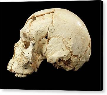 Hominin Skull From Sima De Los Huesos Canvas Print by Javier Trueba/msf