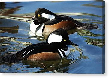 Hooded Merganser Canvas Print by Paulette Thomas