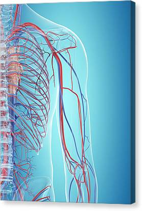 Human Cardiovascular System Canvas Print by Sciepro