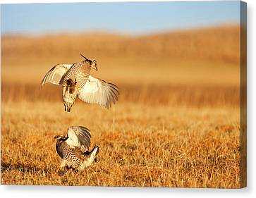 Male Prairie Chickens At Lek In Loup Canvas Print by Chuck Haney