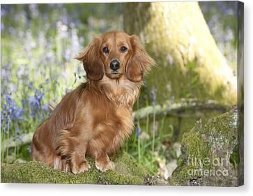 Miniature Long-haired Dachshund Canvas Print by John Daniels