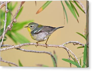 Northern Parula (parula Americana Canvas Print by Larry Ditto