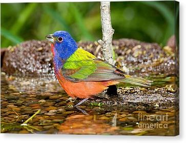 Painted Bunting Canvas Print by Anthony Mercieca