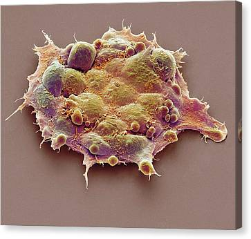 Pluripotent Stem Cells Canvas Print by Steve Gschmeissner