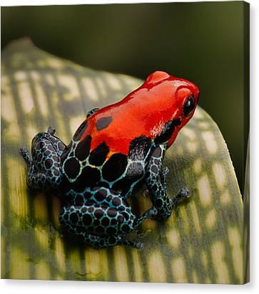 Red Poison Dart Frog Canvas Print by Dirk Ercken