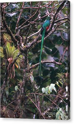 Resplendent Quetzal Canvas Print by Art Wolfe