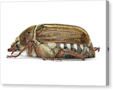 Scarab Beetle Canvas Print by F. Martinez Clavel