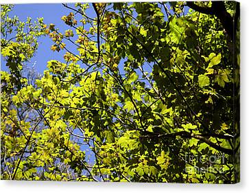 Sycamore Leaves Acer Pseudoplatanus Canvas Print by Dr. Keith Wheeler