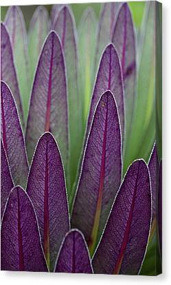 The Giant Lobelias (lobelia Bequaertii Canvas Print by Martin Zwick