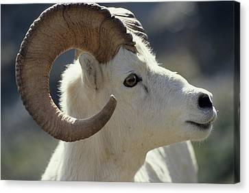 Usa, Alaska, Dall Sheep, Dall Ram Canvas Print by Gerry Reynolds