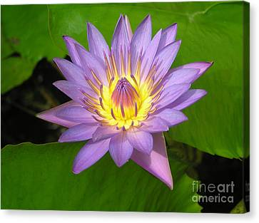 Purple Water Lily Canvas Print by Irina Davis