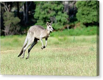Eastern Grey Kangaroo (macropus Canvas Print by Martin Zwick