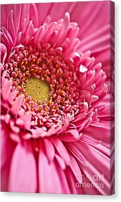 Gerbera Flower Canvas Print by Elena Elisseeva