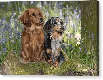 Miniature Long-haired Dachshunds Canvas Print by John Daniels