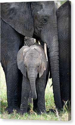 African Elephant Loxodonta Africana Canvas Print by Panoramic Images