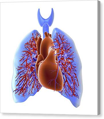 Circulatory System Of Heart And Lungs Canvas Print by Alfred Pasieka