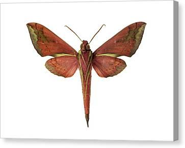 Hawk Moth Canvas Print by F. Martinez Clavel