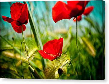 Poppy Field And Sky Canvas Print by Raimond Klavins