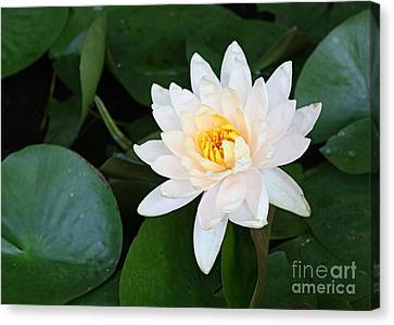 White Water Lily Canvas Print by Irina Davis