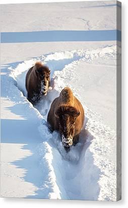Wyoming, Yellowstone National Park Canvas Print by Elizabeth Boehm