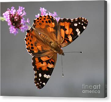 American Painted Lady Butterfly Canvas Print by Karen Adams
