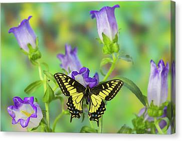 Anise Swallowtail Butterfly, Papilio Canvas Print by Darrell Gulin