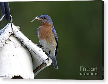 Eastern Bluebird Canvas Print by Linda Freshwaters Arndt