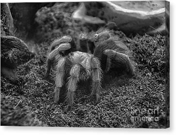 8 Hairy Legs Canvas Print by Thomas Woolworth