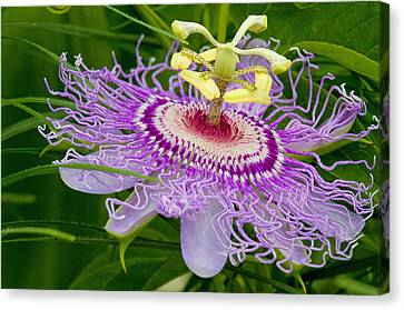 Passion Flower Canvas Print by Geraldine Scull