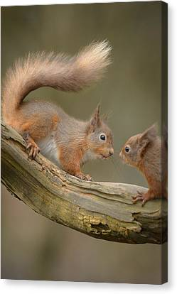 Red Squirrel Canvas Print by Andy Astbury
